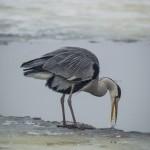 Fåglar   Råstasjön