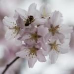 Körsbärsblomster