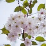 Körsbärsblomster   igen