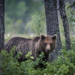Björngömslet skog gömsle björnar björn