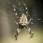 Korsspindel spindel spider korsspindel