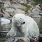 Orsa Björnpark orsa grönklitt orsa lodjur lo isbjörn grönklitt björnpark björn berguv
