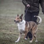 Lydnadstävling Knivsta lydnadstävling lydnad hund brukshund. hundar