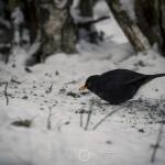 Småfåglar i snöväder thebigyear2014 småfåglar