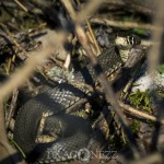 Ormar i vårsolen snok skogsödla huggorm blåsippor