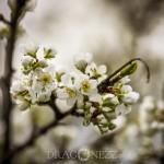 Vårblomster vita blommor träd körsbärsblomster blommor blommande äppelblom
