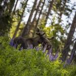 Dyr rävbild räv norrigården björngömsle älg