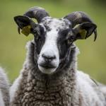 Fåren sheep hage får