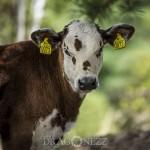 Kalvar tjurkalvar tjurkalv kossor ko kalv