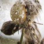 Macro vid ödeladan vårtbitare spindel ödeladan macro kvadratspindel gräshoppa