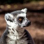 Furuvik lemur känguru get furuvik emu