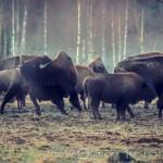 Bison Hill uroxe motljus dimma bisonpark bisonoxe bisonhill bison hill bison