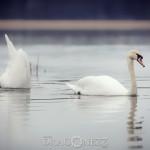 Svansjön vårkänslor swanlake swan svansjön svanar svan sjö nature love lake heart fysingen
