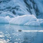 Island 2016   Dag 5 waterfall vattenfall väg snow snö sheep mountain Jökulsárlón island is iceland icelagoon ice fjäll fell får berg asfalt