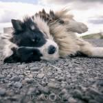 Island 2016   Dag 4 waterfall vattenfall väg snow snö sheep mountain islandshäst island iceland hund häst geysir fjäll får bro berg asfalt