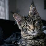 Helios sundsvall mårtensson mainecoon maine coon katt helios cat alnö