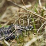 Ormar i vårsolen viper vårsol vår snake ormar huggorm