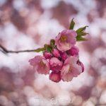 Kungsträdgården i rosa vårtecken vår träd stockholm spring saktura rosa pink kungsträdgården körsbärsblomster körrsbärsblommor cherryblossom blossom blommor