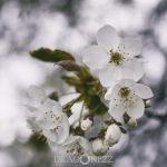 Äppelblom white spring blommor appleflower äppelblomster äppelblom